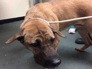 SUPER URGENT Brooklyn Center BULLWINKLE – A0886236 NEUTERED MALE, BROWN / BLACK, CHINESE SHARPEI, 6 yrs STRAY – ONHOLDHERE, HOLD FOR ID Reason STRAY Intake condition GERIATRIC Intake Date 05/08/2017, From NY 11429, DueOut Date 05/14/2017,
