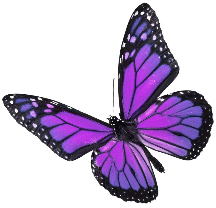 Showing Gallery For Real Purple Butterfly