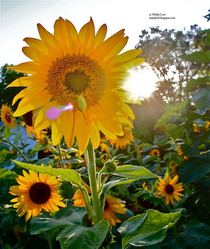 Sunflower Helianthus annus May 1 2011 Copyright Phillip Lott