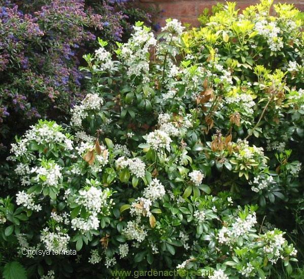 Arbustes pour haie maison jardin pinterest arbuste for Haie jardin anglais