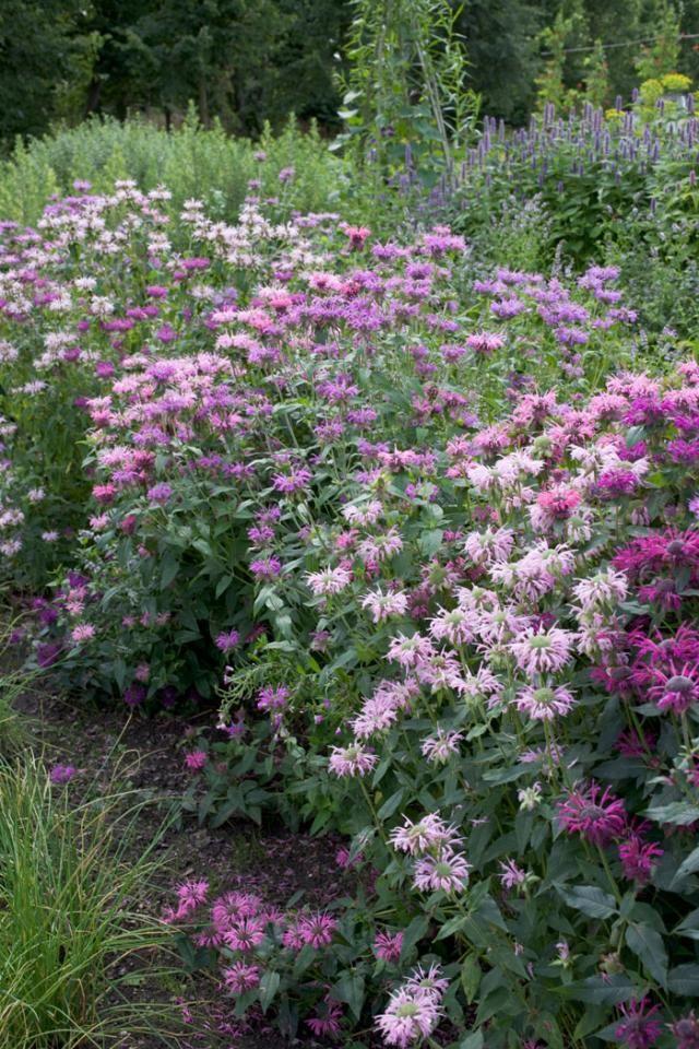 Väriminttu, hurmaava teekasvi - Bergamot, Ideal for Herbal Teas Text Outi Tynys, Photo A-lehtien kuva-arkisto www.viherpiha.fi