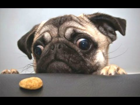 Top 10 Cute And Funny Pug Videos Compilation    NEW HD - YouTube