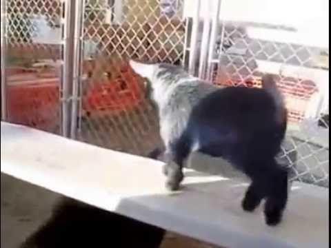 #Козлята скачут, радуются , танцуют! #Goats jump, rejoice , dance!