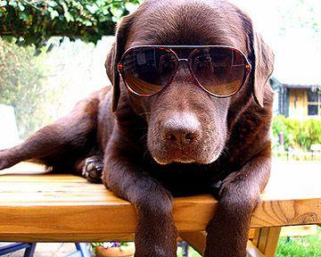 Image result for labrador dog wearing glasses
