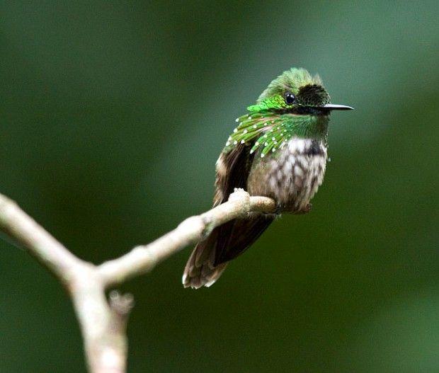 As aves de Jonathan Franzen no Brasil | Brasil das Aves Topetinho verde, um lindo beija-flor.