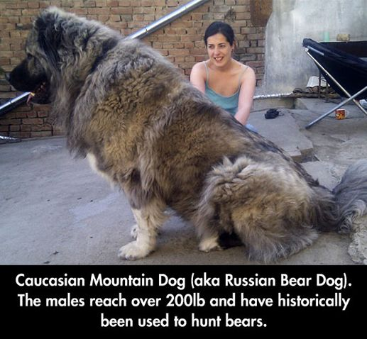 The gigantic Russian bear dog.