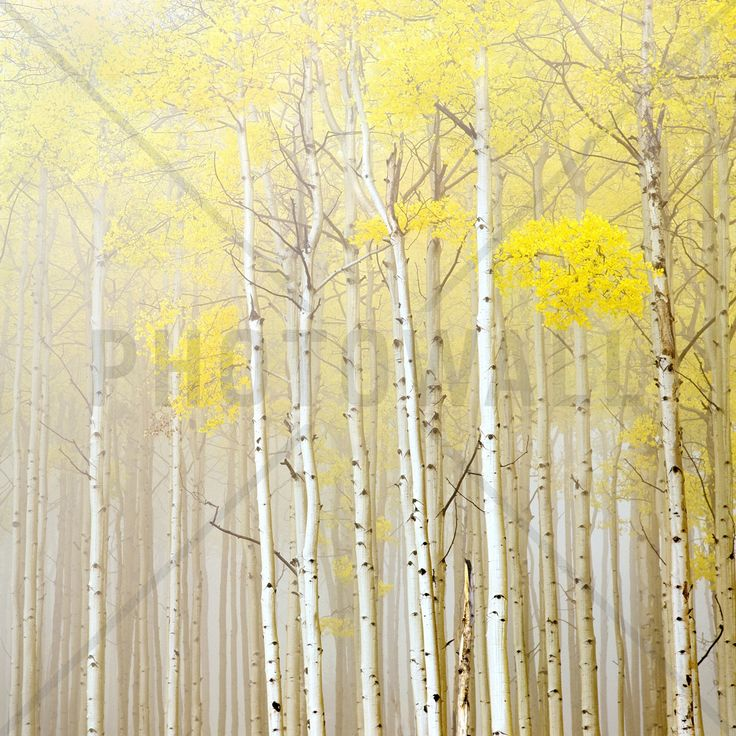Aspens in Fog - Wall Mural & Photo Wallpaper - Photowall