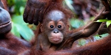 Avaaz - Orangutans under threat -- the plan to win http://www.avaaz.org/en/aceh_rainforest_petition_loc/?bgehyeb&v=38565
