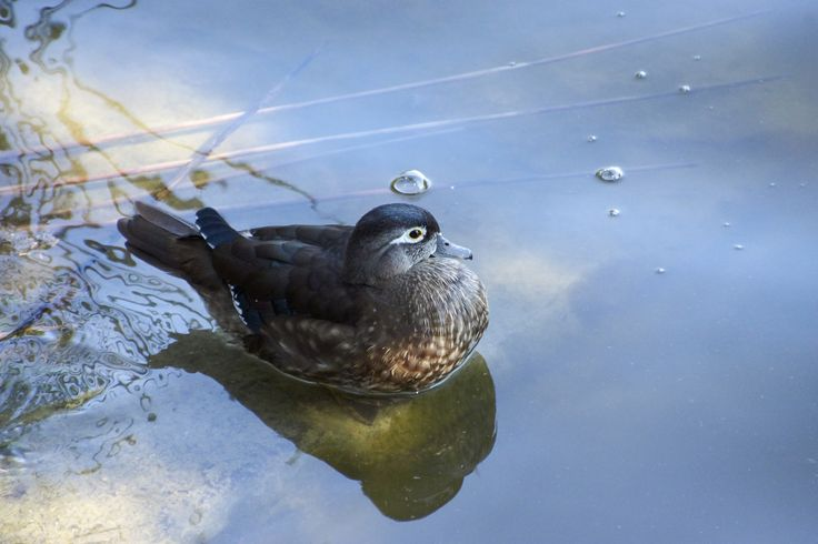 Duck on water - null