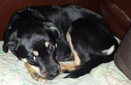 Hi my name is TIfa. I am a four month old shepherd cross that is waiting for a home to call my own. I am very smart, and have almost mastered my housetraining already! I am learning proper manners but I am not sure that I will ever learn how NOT to be a lap dog. Wanna snuggle with me? www.cawsab.org to complete an adoption application for me.