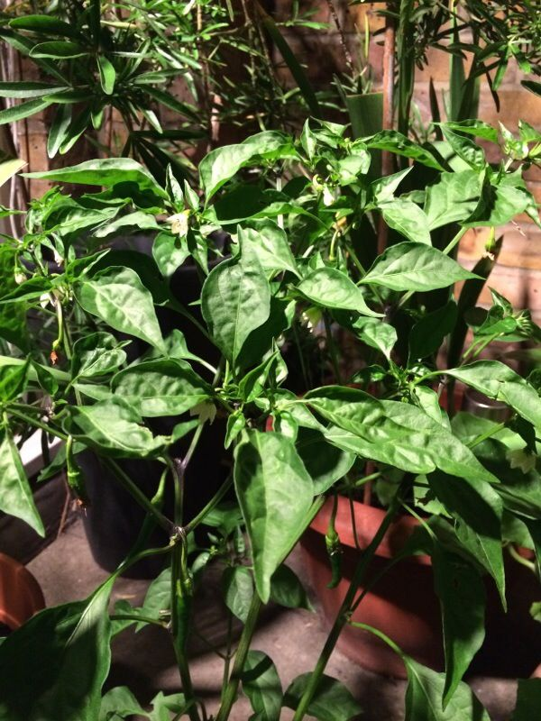 Chili Pepper (capsicum annuum): It is not possible to positively distinguish which chili pepper - there are far too many different kinds. The best thing to do is wait until fruit sets and matures - you could take a sample into your local garden center.