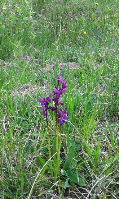 22.4.2016 Orchidea selvatica
