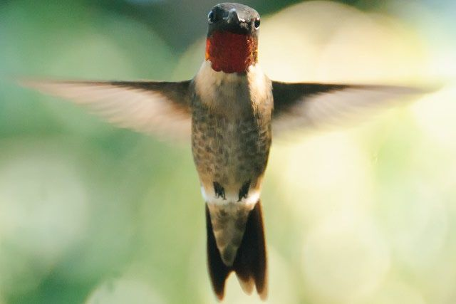 When Do Hummingbirds Migrate?: Ruby-throated hummingbird males migrate before females.