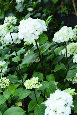 Lovely hydrangea Black Steel. Love the contrast black stems white flowers.
