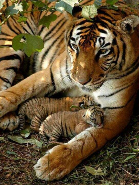 Tiger Mama and her cute little babies
