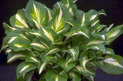 RHS Plant Selector Hosta undulata var. univittata (v) AGM / RHS Gardening