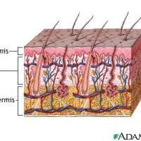 Learn More About Your Skin: Diagram of Skin Layers