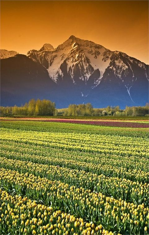 Tulip Cultivation, British Columbia, Canada | Top 20 Beautiful Nature & Places In Canada.