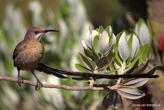 Cape Sugarbird (male) Promerops cafer, Betty's Bay, Western Cape