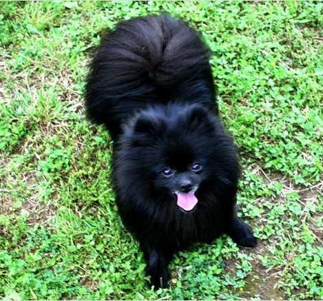 Cute Black Pomeranian Puppies 5