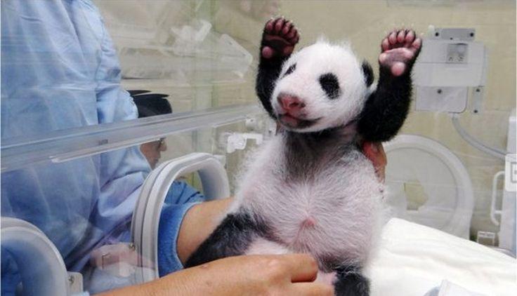 #YuanZai, el #panda bebé, se reencontró con su madre Yuan Yuan. #trome