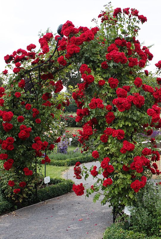 "Red climbing roses on a ""Victorian Rose Arch ~ Kiftsgate""  