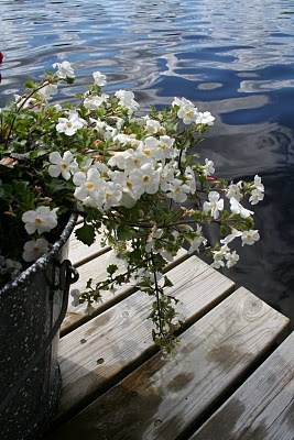 Blooming midsummer rose, Finland
