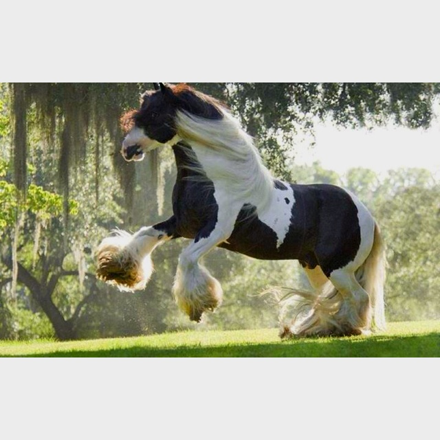 17 Best Images About Clydesdale On Pinterest Show Horses