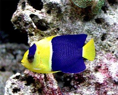 1000 ideas about marine fish on pinterest mandarin fish for Salt water fish pets
