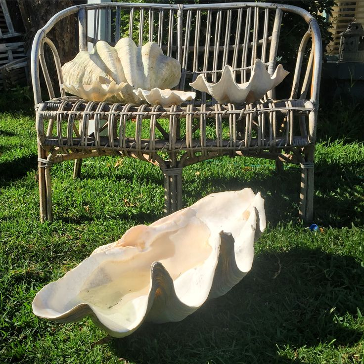 Amazing old collection of Giant clam shells