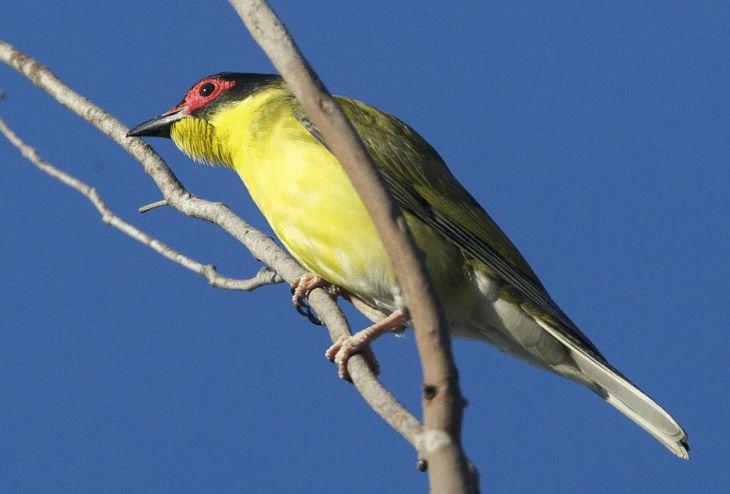 Mengetahui Ciri Ciri Burung Ara Timor Dan Daerah Persebarannya Burung Jalak