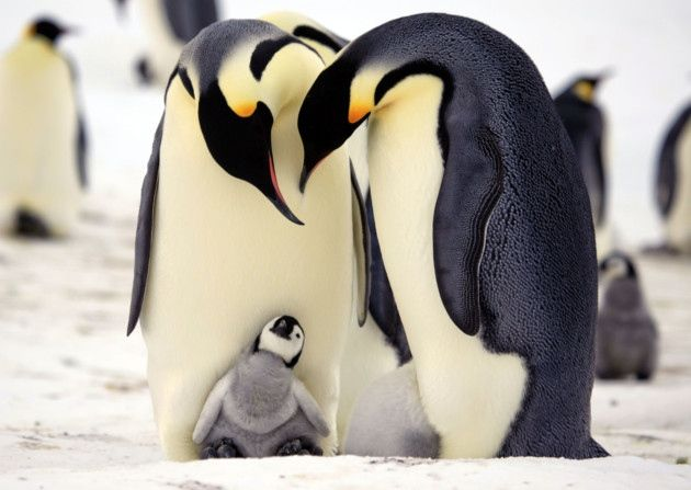 beautiful penguin photography (6)