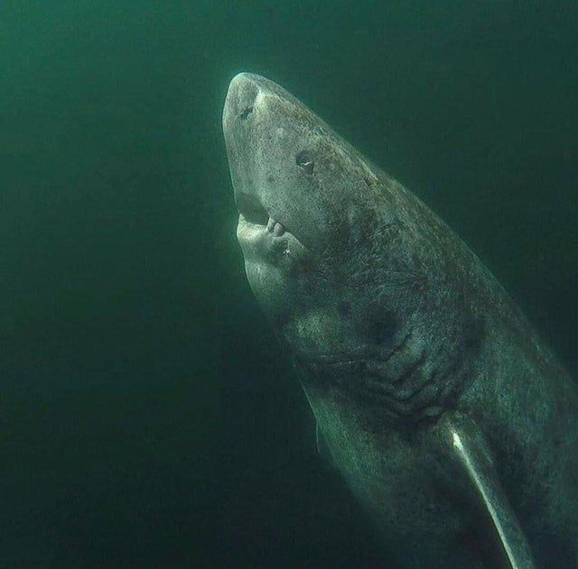 Reddit The Front Page Of The Internet Greenland Shark Shark Arctic Ocean
