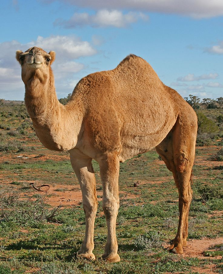 Interesting Facts About Camels - Ships Of The Desert