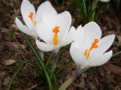 Crocus vernus Jeanne d'Arc   Name: Spring crocus  Type: Bulb  Family: Iridaceae  Zone: 3 to 8  Height: 0.25 to 0.50 feet  Spread: 0.25 to 0.50 feet  Bloom Time: March  Bloom Description: White with small purple base  Sun: Full sun to part shade