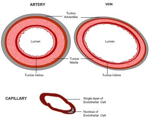 Cross Section Of An Artery Vein And Capillary Amazing Nurse
