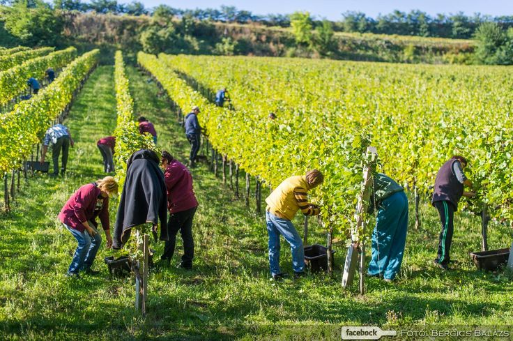 Hungary's Most Beautiful Vineyard is Found ‹ Daily News Hungary