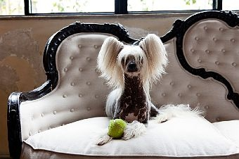 218 Best Chinese Naakthond Powder Puff Crested Dog