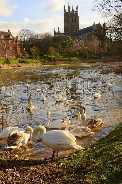 Swans on the river Severn in Worcester - Worcestershire, England