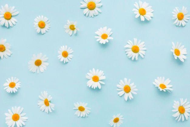 Top View Daisy Flowers Daisy Wallpaper Pink Daisy Wallpaper Desktop Wallpaper Art Background daisy flower wallpaper