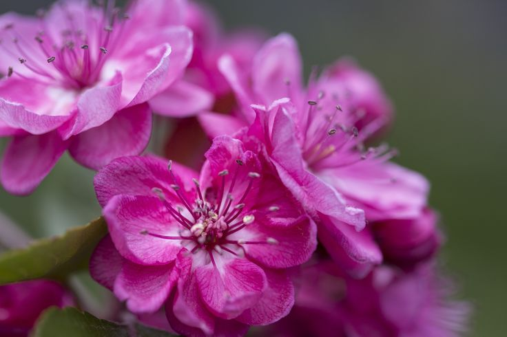 Malus Wychwood Ruby pink flower macro