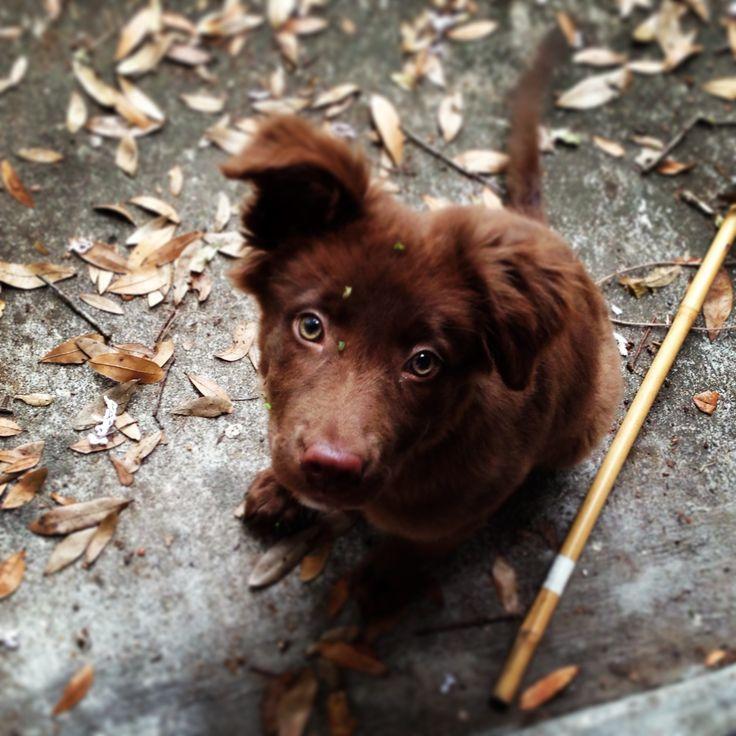 My puppy! Australian shepherd and chocolate lab mix