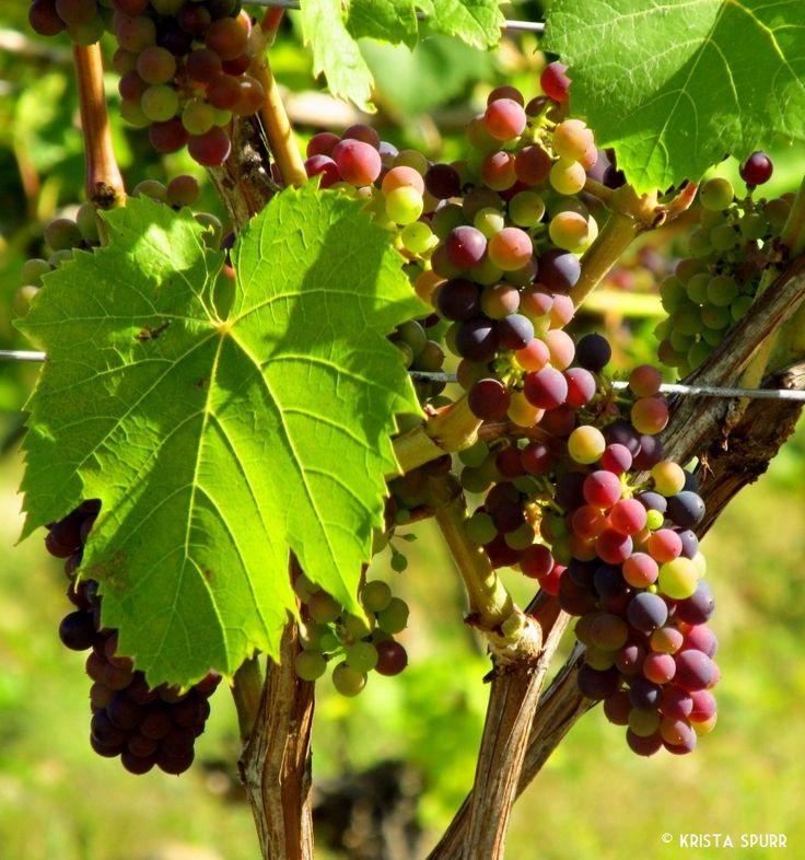 Petite Riviere Vineyards winery Nova Scotia Leon Millot grapes