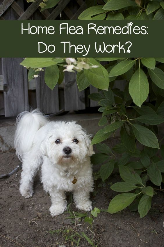 flea and tick home remedies do they work shorts ticks and flea and tick. Black Bedroom Furniture Sets. Home Design Ideas