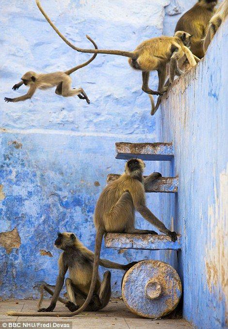Diese Hanuman-Languren können sich in der blauen Stadt Jodhpur, Indien, frei bewegen. Es ist t …  – ****WILDLIFE HABITAT