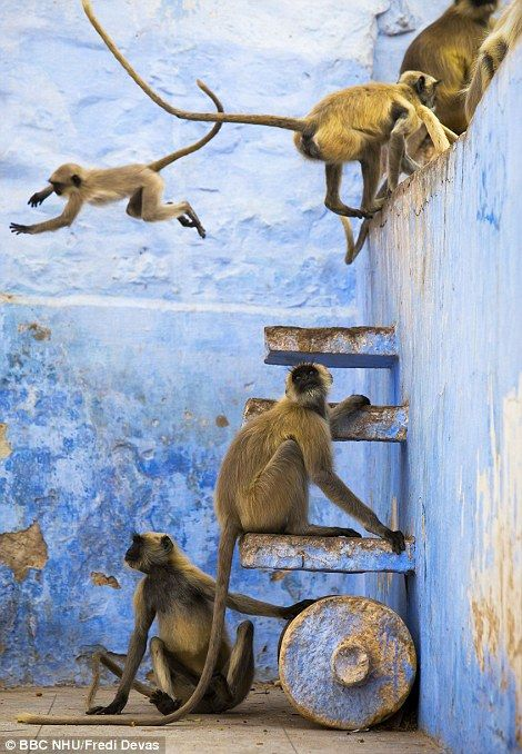 These Hanuman langurs have free roam in the blue city of Jodhpur, India. It is their home and their playground