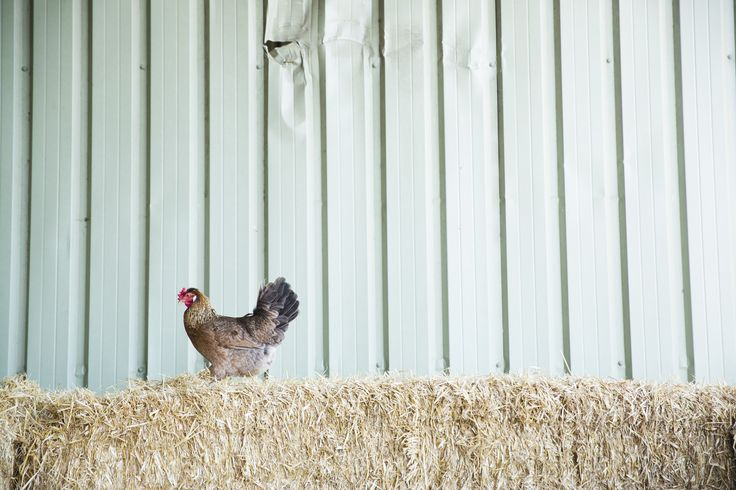 Rare and heritage breeds in the Straw Barn