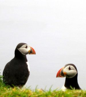 Mykines, Paradise of birds: là dove vivono i puffin @visitfaroe