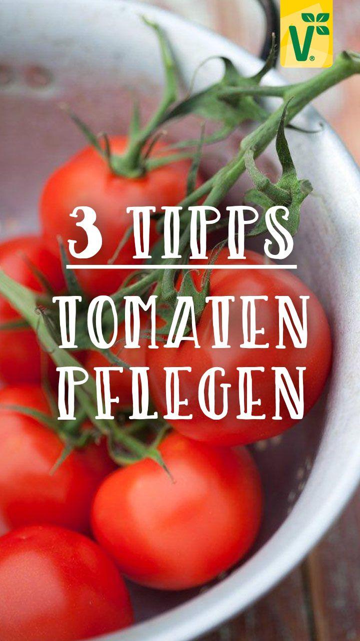 Tomaten Pflegen 3 Tipps Fur Eine Reiche Ernte Plant Happy In 2020 Tomaten Tomaten Nachreifen Lassen Tomaten Ernten