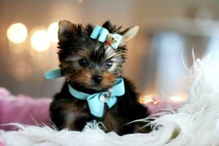 Home Trained Teacup Yorkie Pups for sale..TXT us ONLY at (469) 723-8309  AKC Home Trained Teacup Yorkie Puppies.We have available two Yorkie Puppies for adoption males & females left from a litter of 5. Born & raised in our home. They are AKC registered and will come with all their papers..AKC REGISTRATION 5 GENERATION PEDIGREE( not a copy one bought from the akc )PUPPY PACK WITH FOOD AND BLANKET PUPPY SALES CONTRACT 5 WEEKS FREE INSURANCE FIRST VACCINATIONS WITH VET CARD VET HEALTH C...